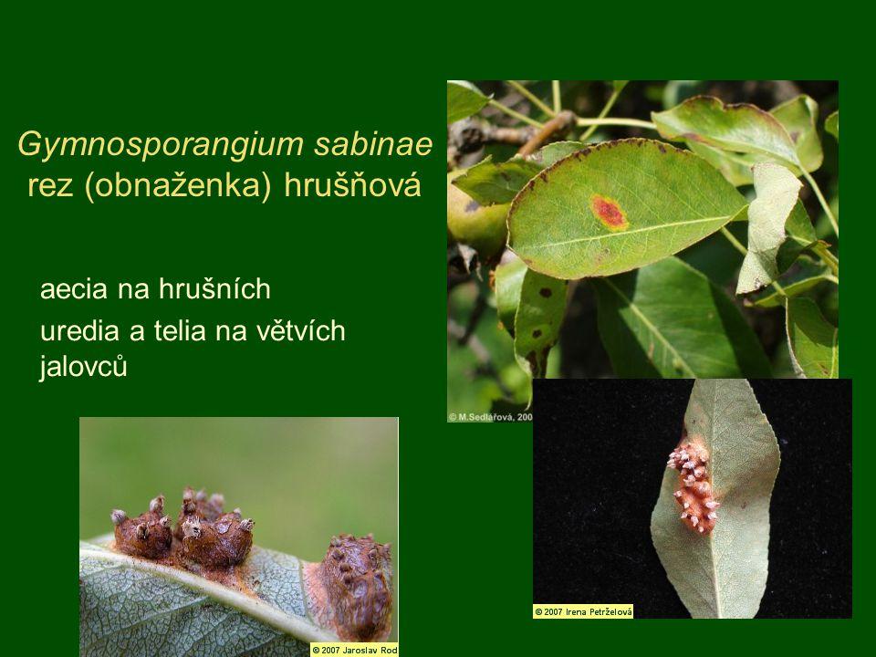 Gymnosporangium sabinae rez (obnaženka) hrušňová