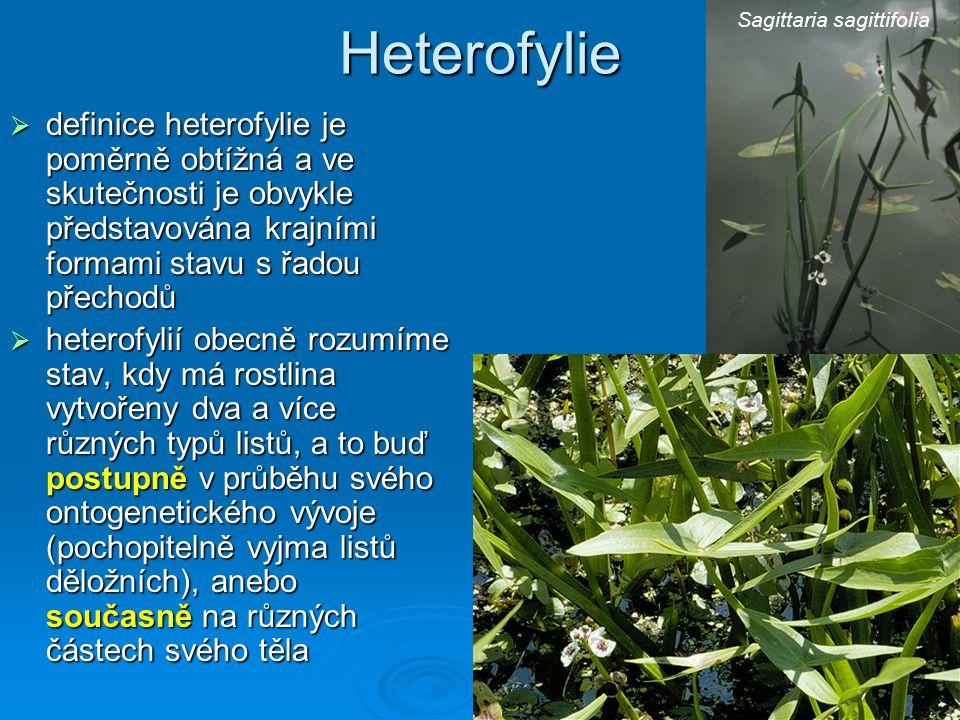 Heterofylie Sagittaria sagittifolia.