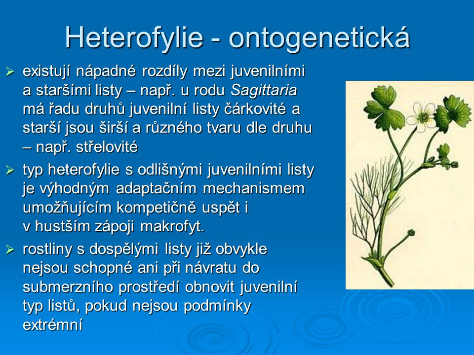 Heterofylie - ontogenetická