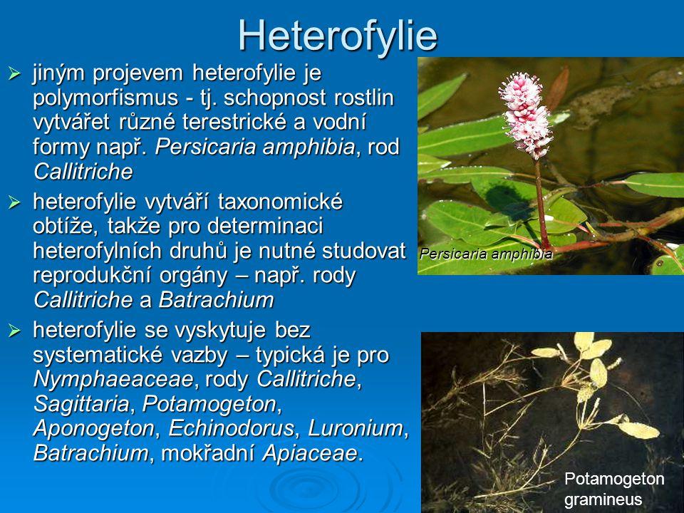 Heterofylie