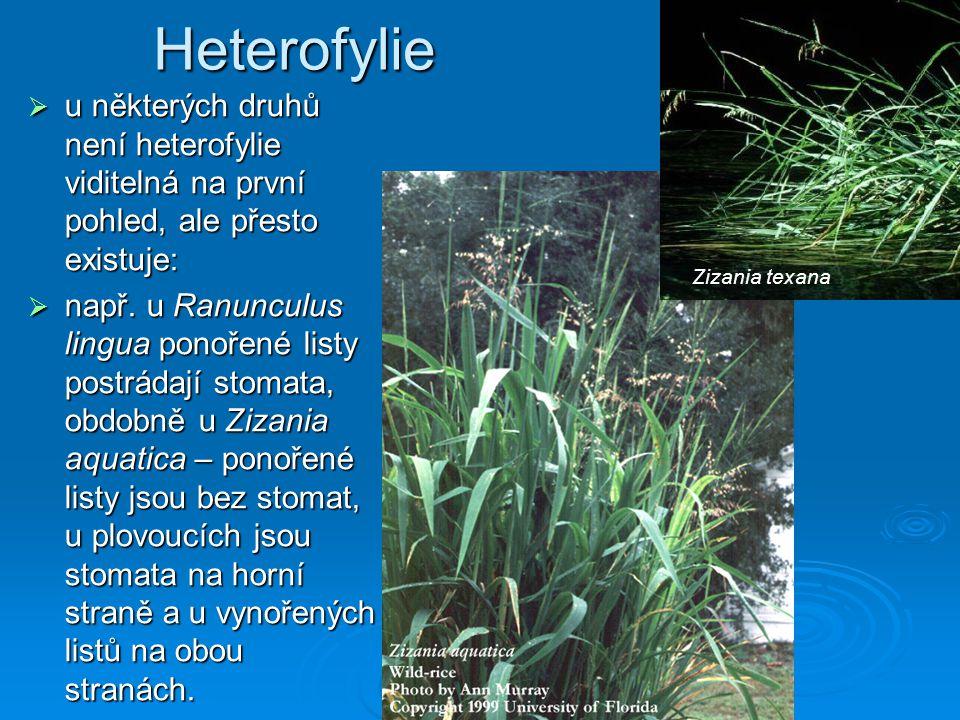 Heterofylie u některých druhů není heterofylie viditelná na první pohled, ale přesto existuje: