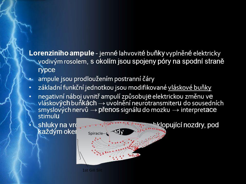 Lorenziniho ampule - jemné lahvovité buňky vyplněné elektricky vodivým rosolem, s okolím jsou spojeny póry na spodní straně rypce