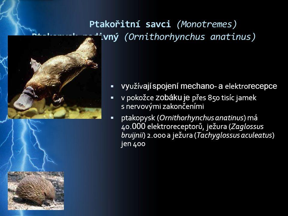 Ptakořitní savci (Monotremes) Ptakopysk podivný (Ornithorhynchus anatinus)