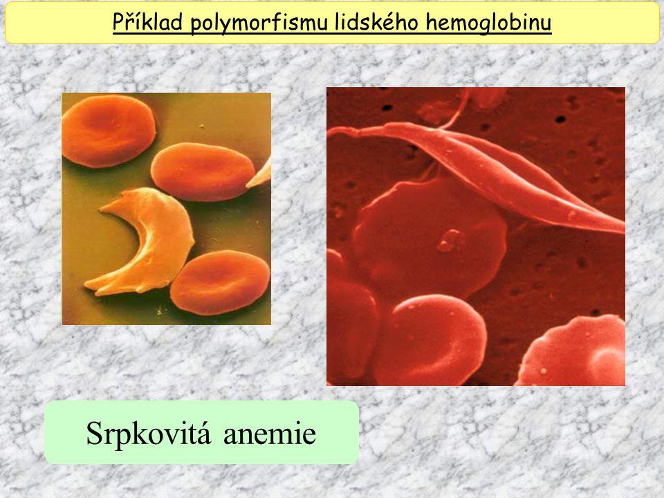 Příklad polymorfismu lidského hemoglobinu