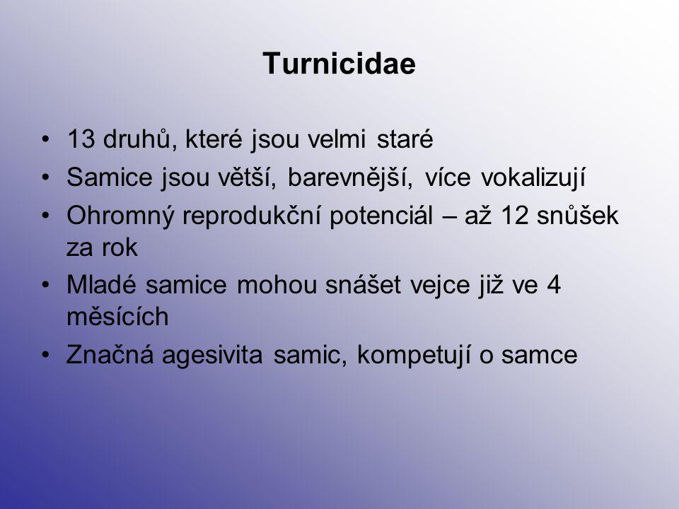 Turnicidae 13 druhů, které jsou velmi staré