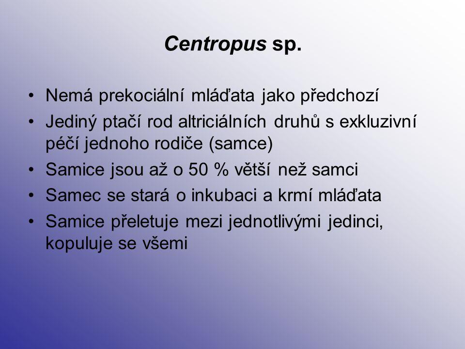 Centropus sp. Nemá prekociální mláďata jako předchozí
