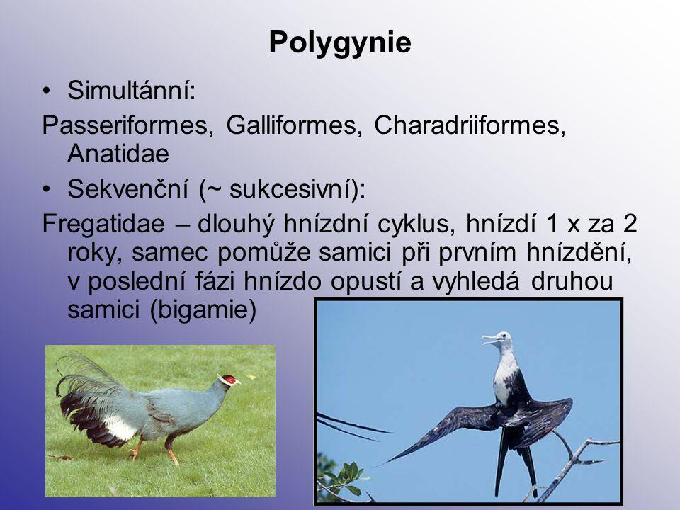 Polygynie Simultánní: