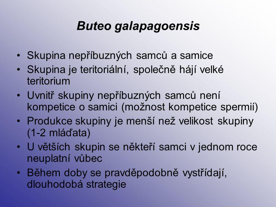 Buteo galapagoensis Skupina nepříbuzných samců a samice
