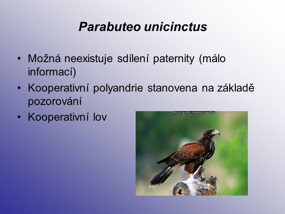 Parabuteo unicinctus Možná neexistuje sdílení paternity (málo informací) Kooperativní polyandrie stanovena na základě pozorování.