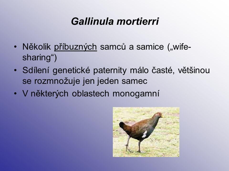 """Gallinula mortierri Několik příbuzných samců a samice (""""wife-sharing )"""