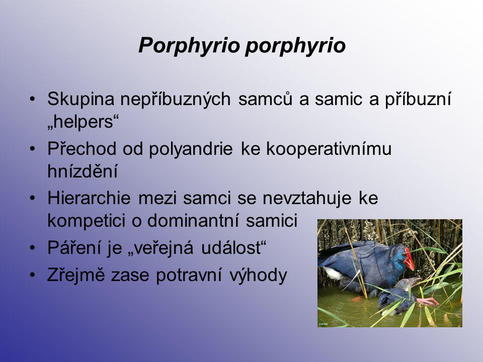 """Porphyrio porphyrio Skupina nepříbuzných samců a samic a příbuzní """"helpers Přechod od polyandrie ke kooperativnímu hnízdění."""