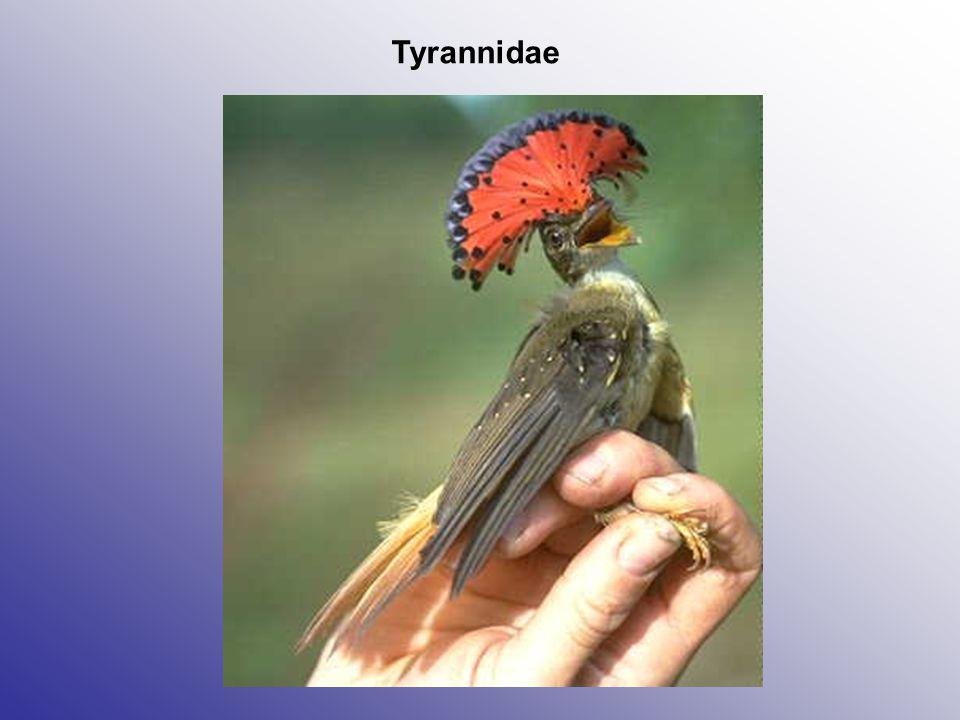 Tyrannidae