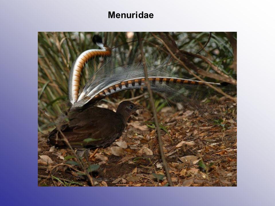 Menuridae