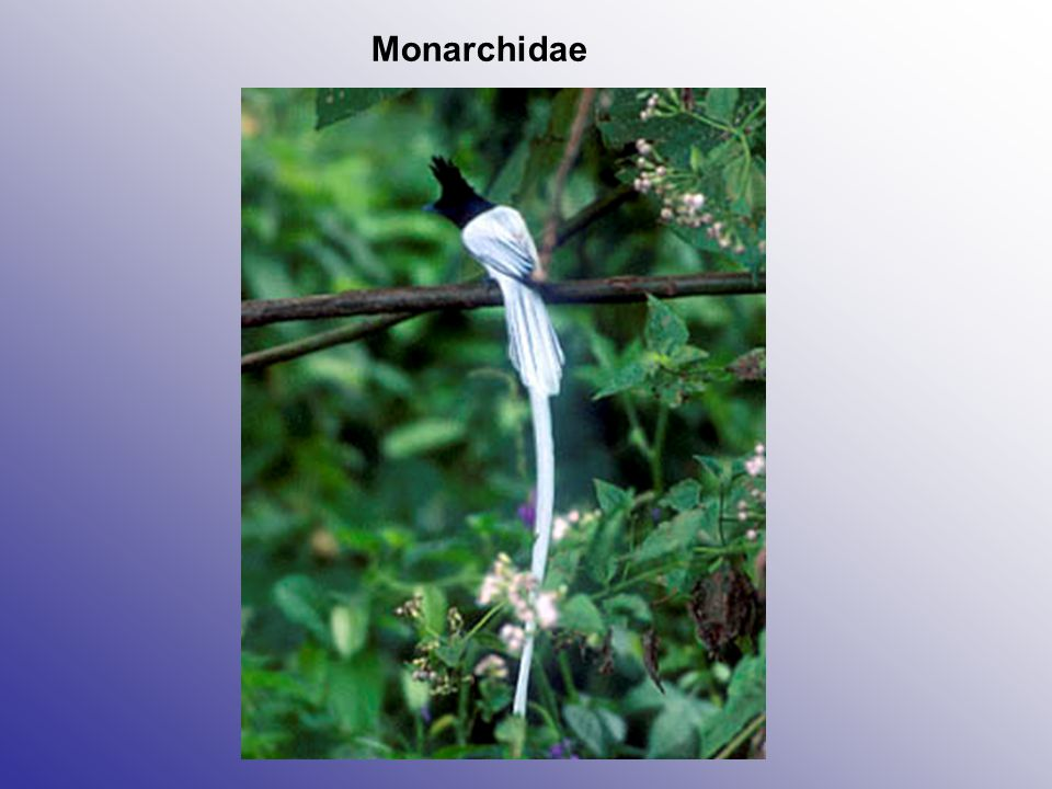 Monarchidae