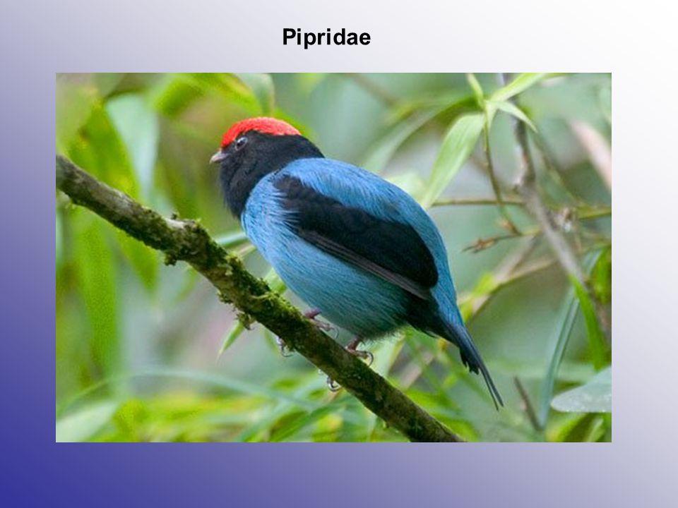 Pipridae