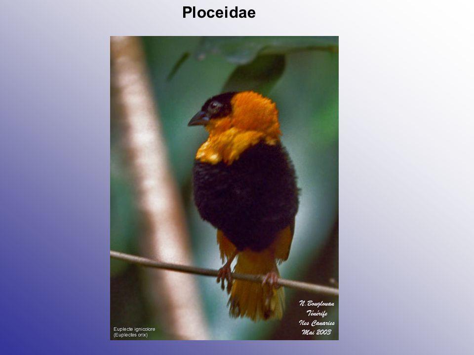 Ploceidae