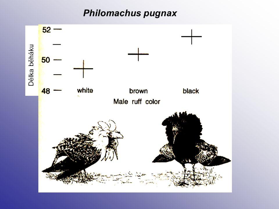 Philomachus pugnax Délka běháku