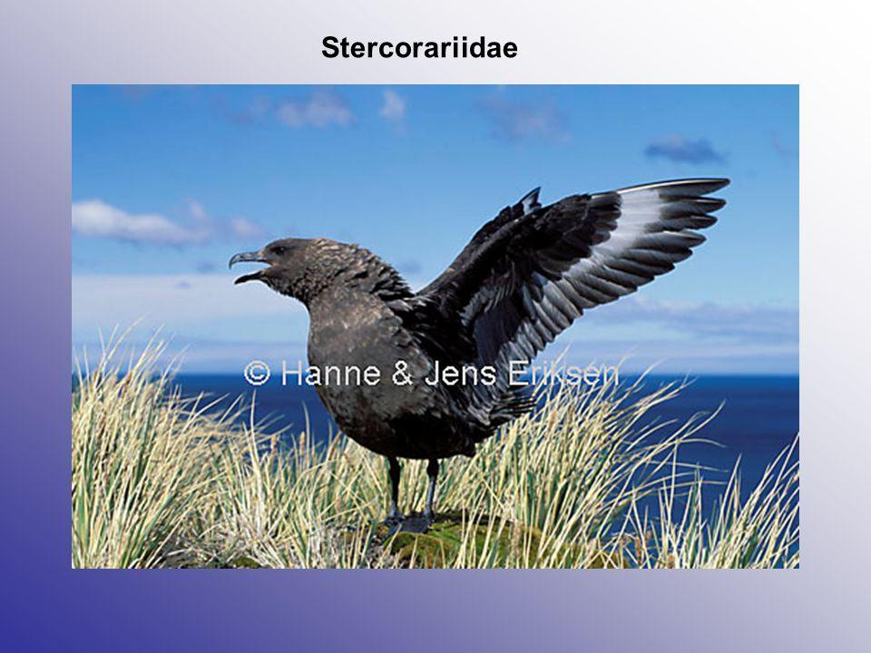 Stercorariidae