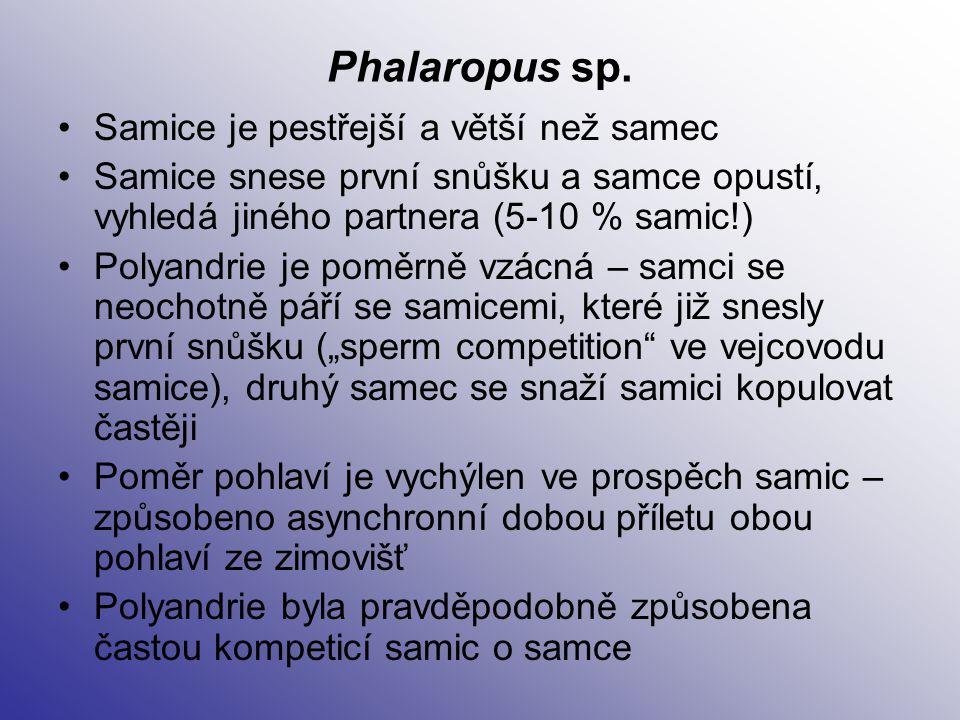 Phalaropus sp. Samice je pestřejší a větší než samec