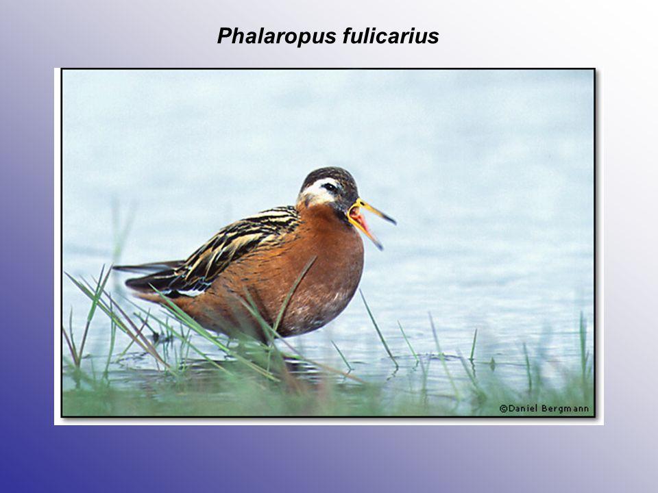 Phalaropus fulicarius