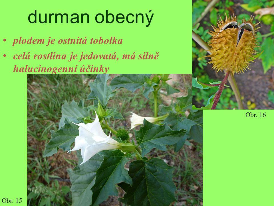 durman obecný plodem je ostnitá tobolka