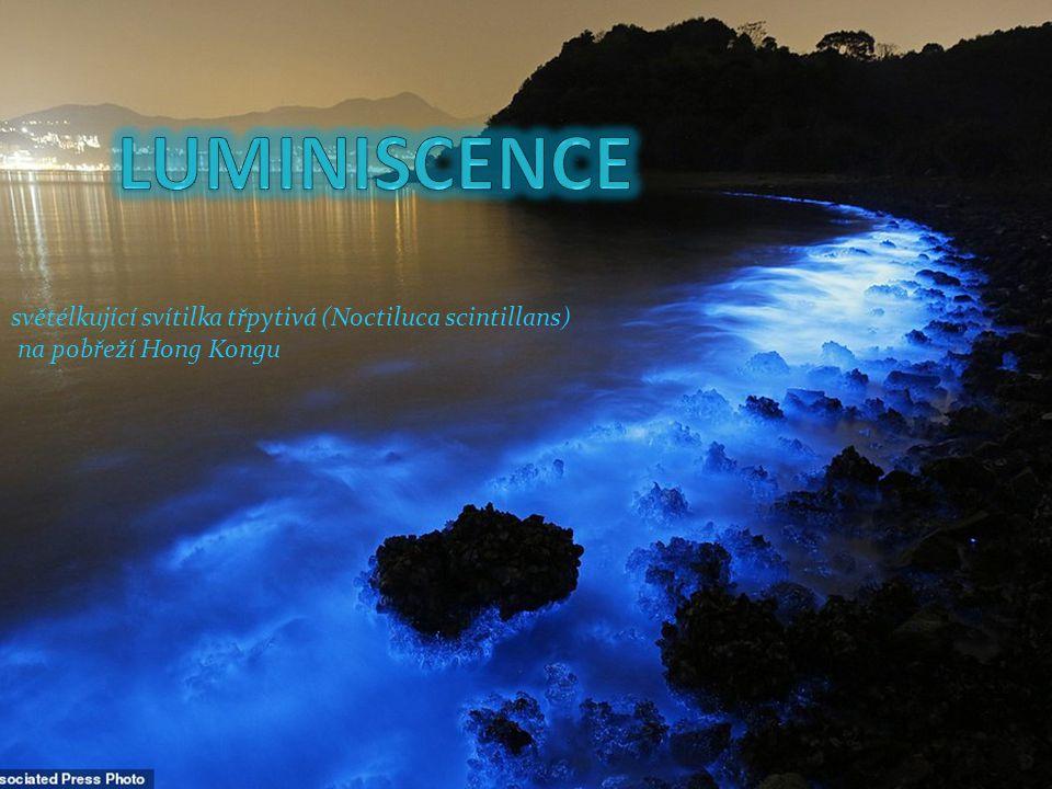 LUMINISCENCE světélkující svítilka třpytivá (Noctiluca scintillans)