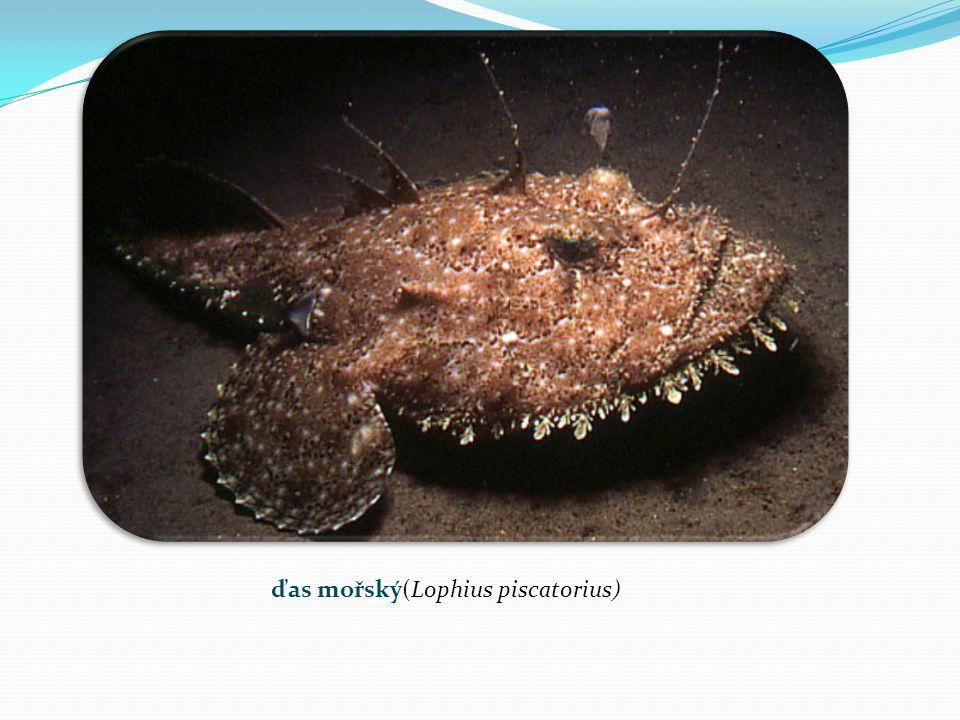 ďas mořský(Lophius piscatorius)