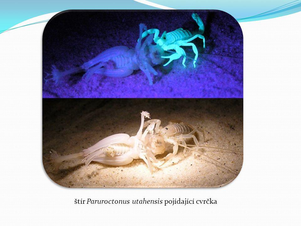 štír Paruroctonus utahensis pojídající cvrčka