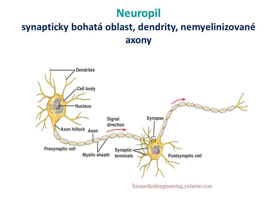 Neuropil synapticky bohatá oblast, dendrity, nemyelinizované axony