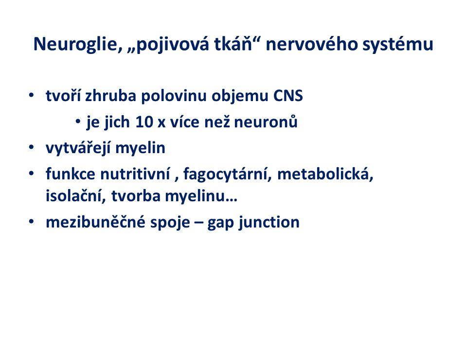 """Neuroglie, """"pojivová tkáň nervového systému"""