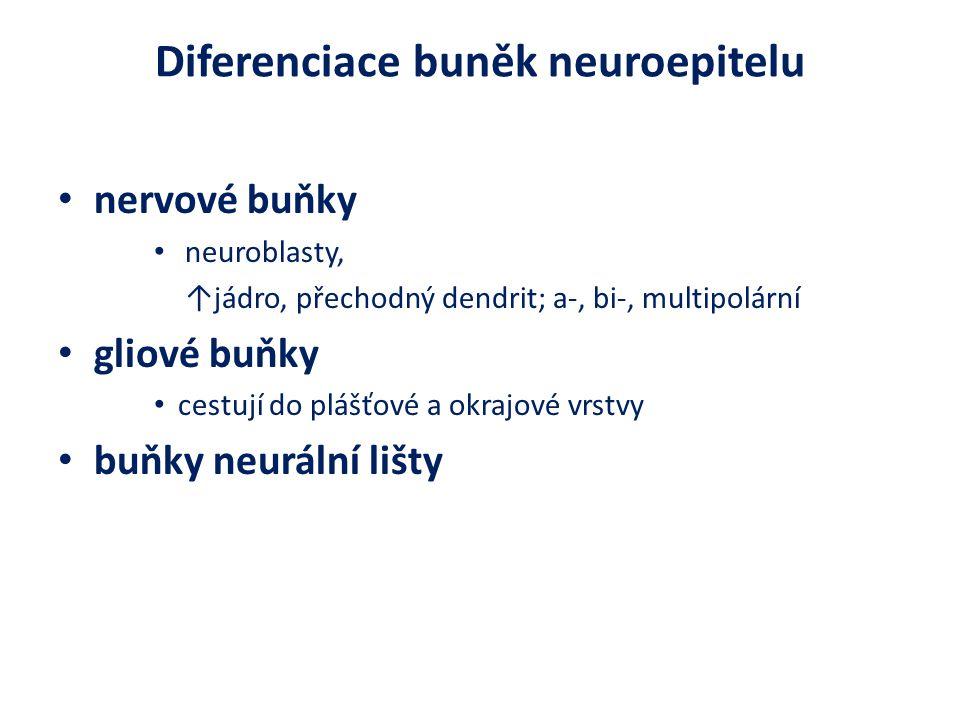 Diferenciace buněk neuroepitelu