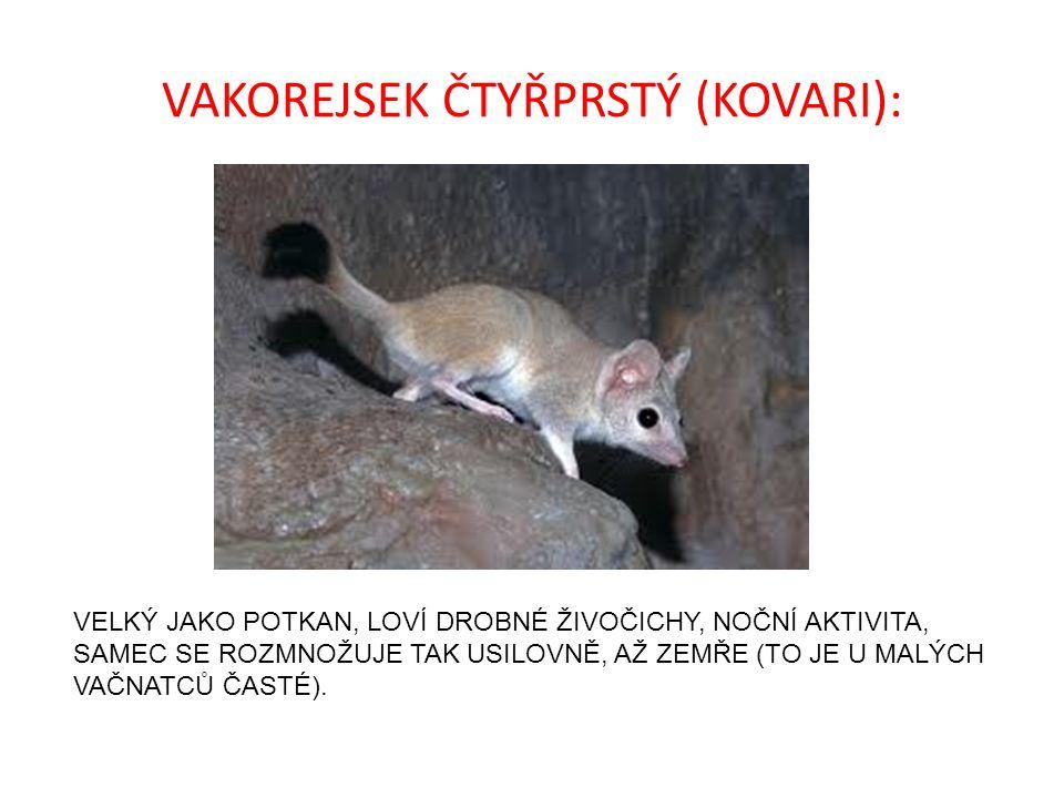 VAKOREJSEK ČTYŘPRSTÝ (KOVARI):
