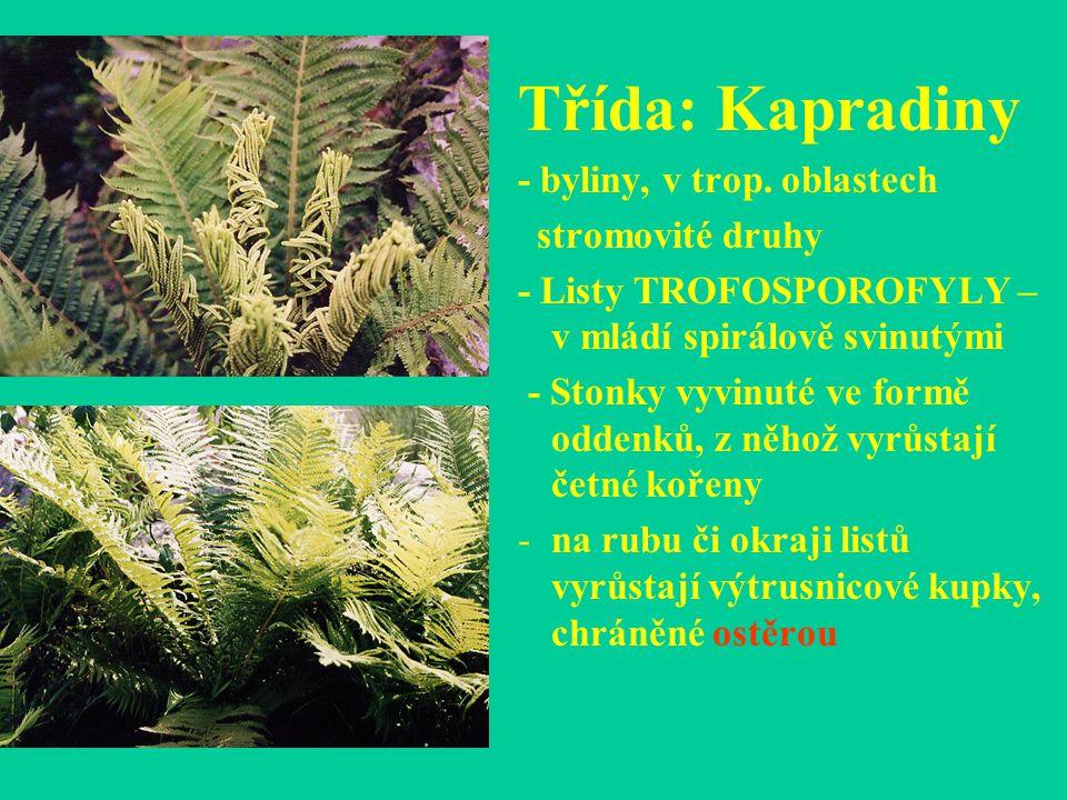 Třída: Kapradiny - byliny, v trop. oblastech stromovité druhy