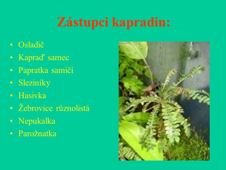 Zástupci kapradin: Osladič Kapraď samec Papratka samičí Sleziníky