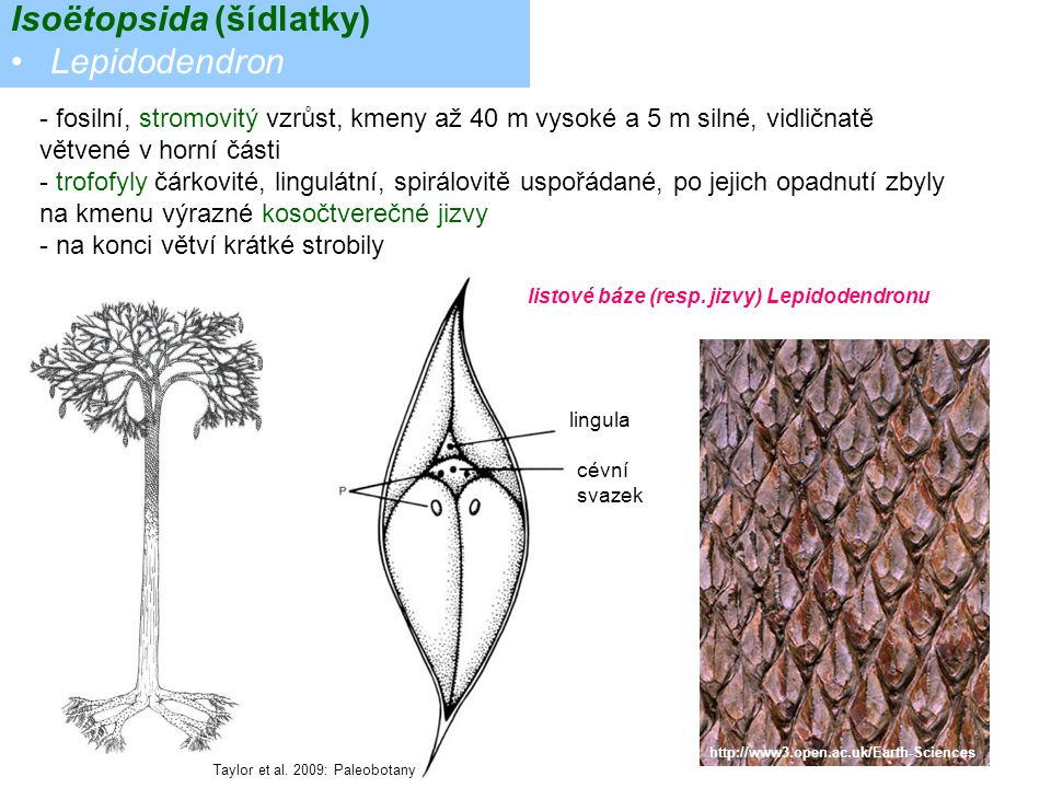 Isoëtopsida (šídlatky) Lepidodendron