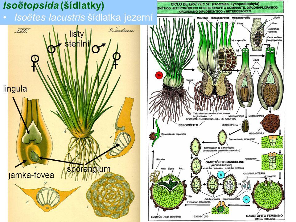 Isoëtopsida (šídlatky) Isoëtes lacustris šídlatka jezerní