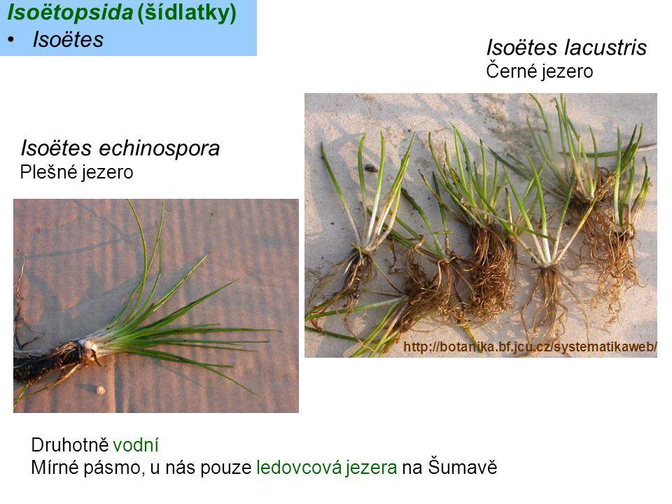 Isoëtopsida (šídlatky) Isoëtes Isoëtes lacustris