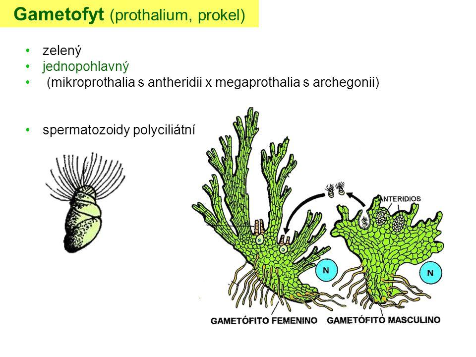 Gametofyt (prothalium, prokel)