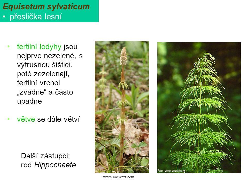 Equisetum sylvaticum přeslička lesní