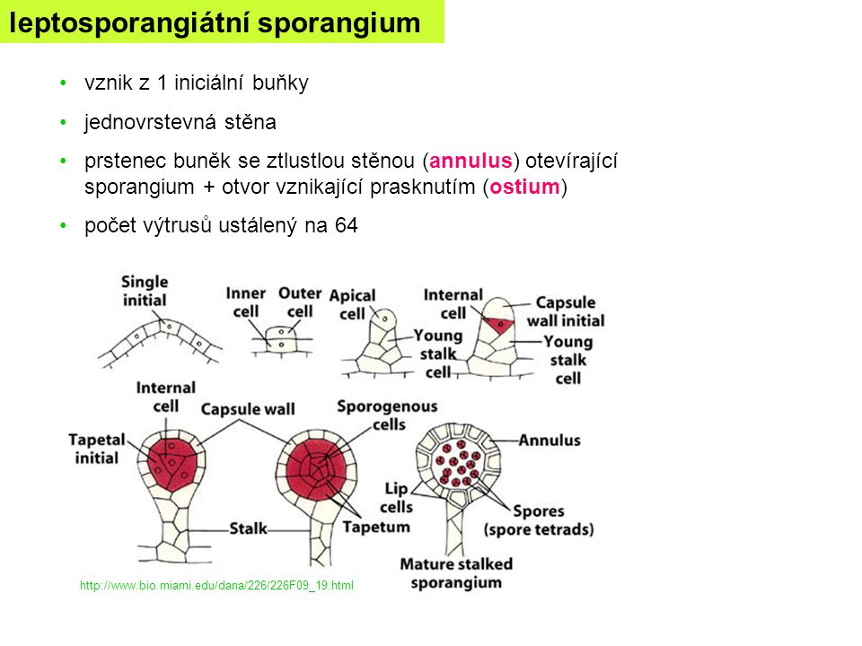 leptosporangiátní sporangium
