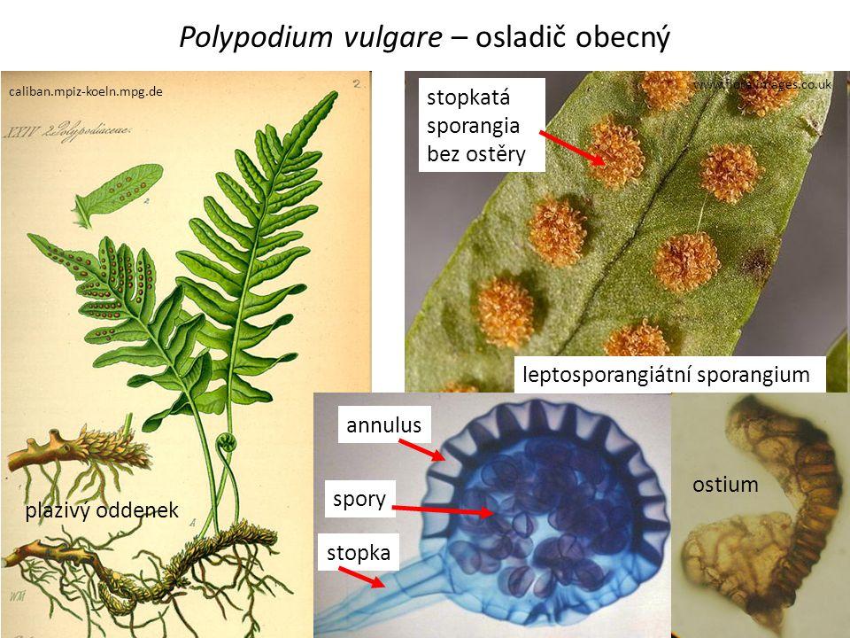 Polypodium vulgare – osladič obecný