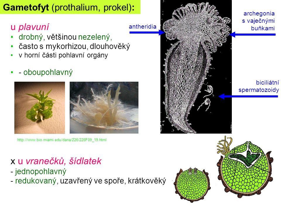 Gametofyt (prothalium, prokel): u plavuní