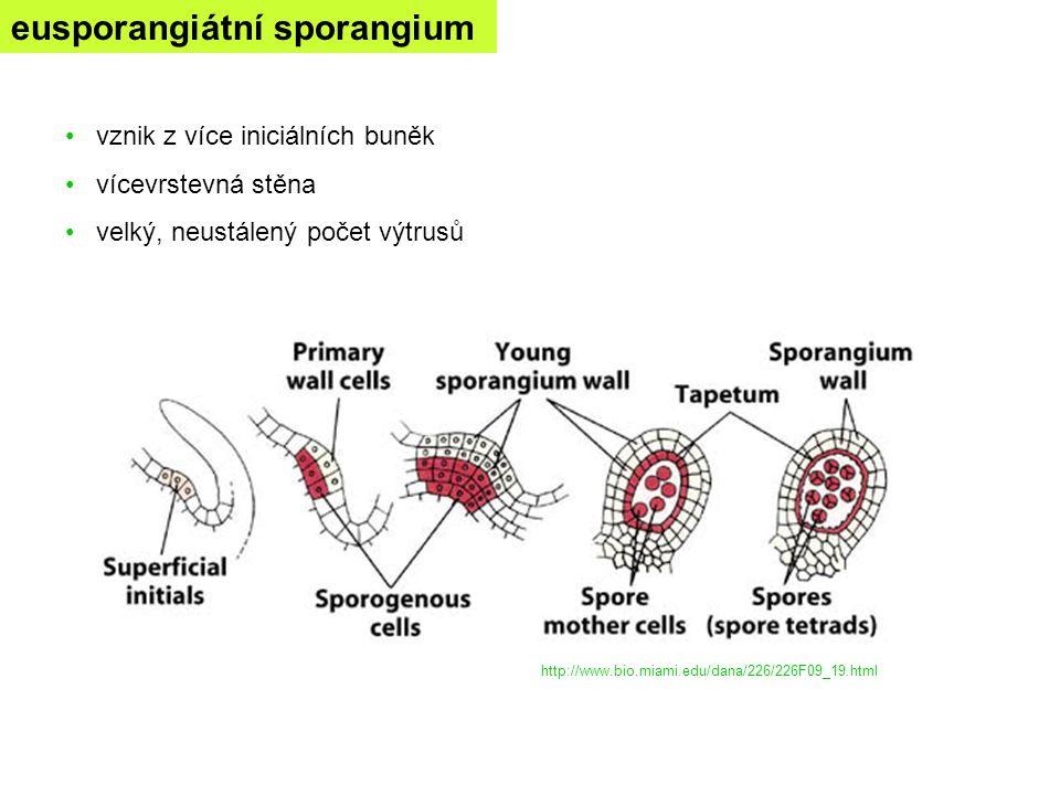 eusporangiátní sporangium
