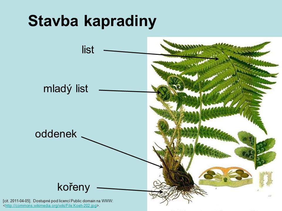 Stavba kapradiny list mladý list oddenek kořeny