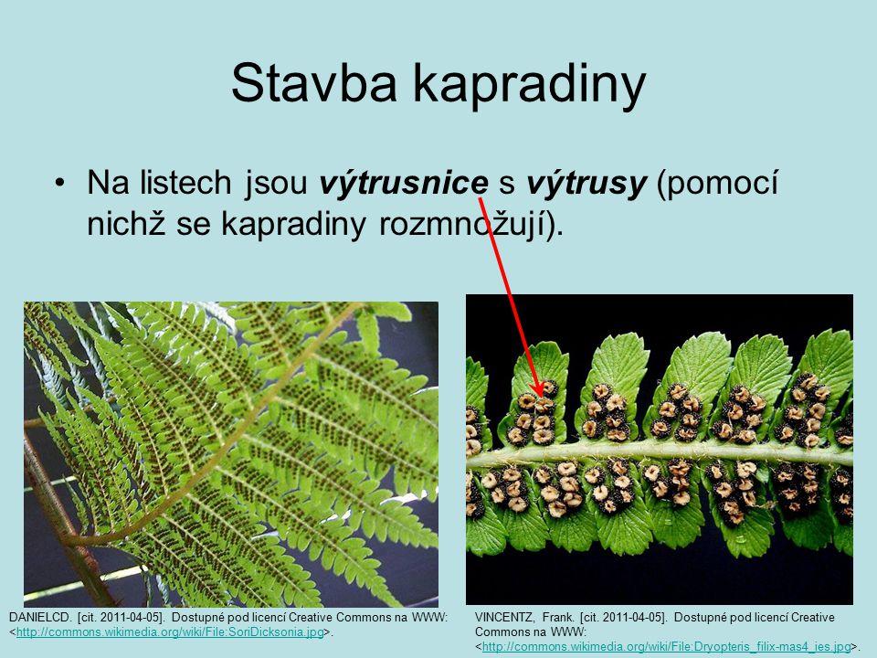 Stavba kapradiny Na listech jsou výtrusnice s výtrusy (pomocí nichž se kapradiny rozmnožují).