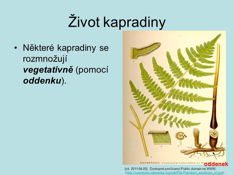 Život kapradiny Některé kapradiny se rozmnožují vegetativně (pomocí oddenku). oddenek.
