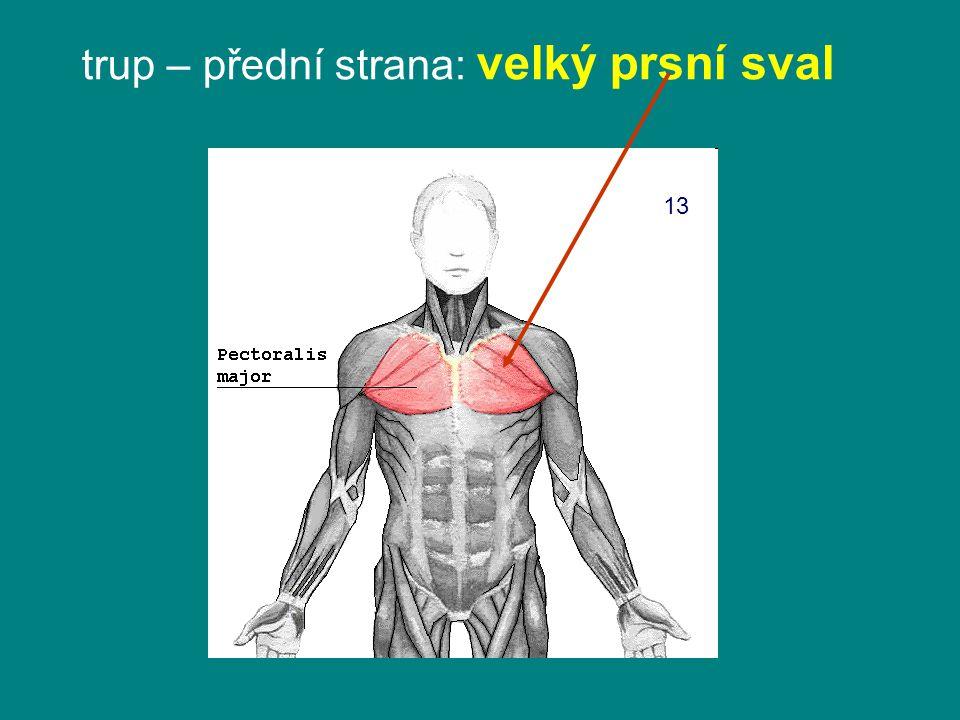 trup – přední strana: velký prsní sval