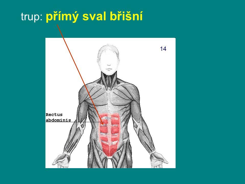 trup: přímý sval břišní
