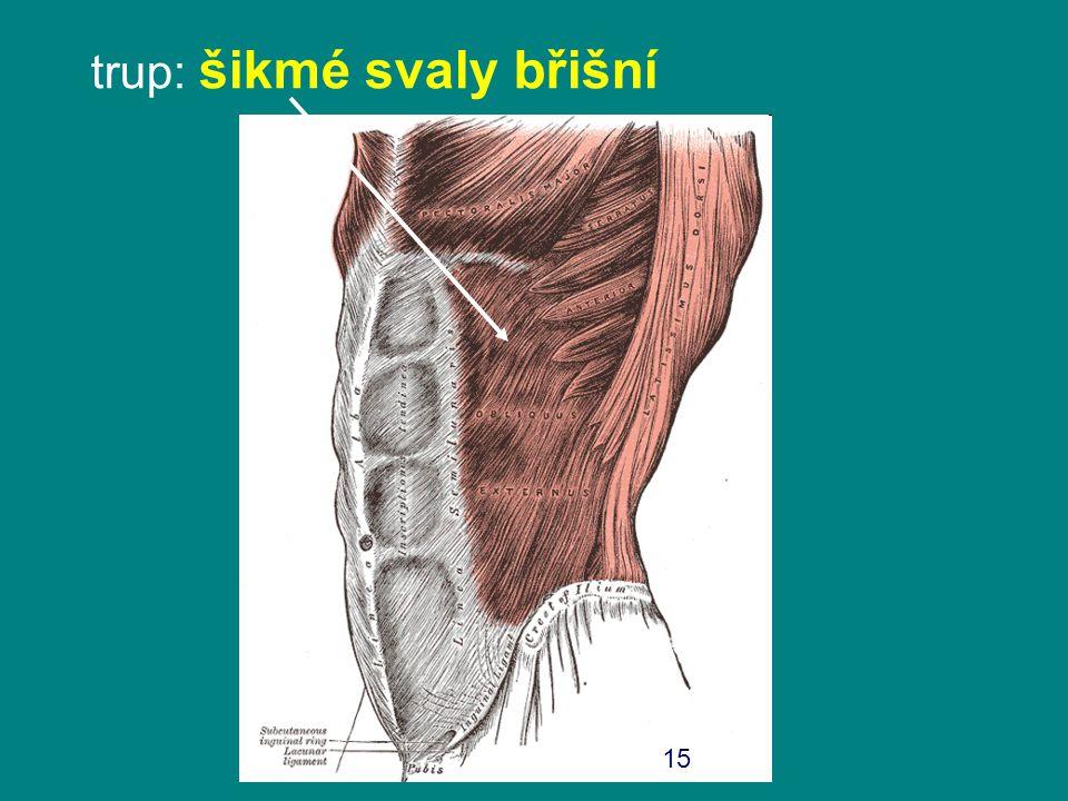 trup: šikmé svaly břišní