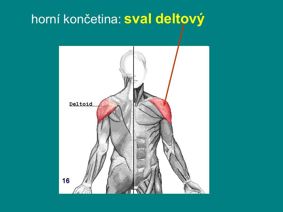 horní končetina: sval deltový